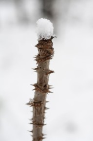 Devil's Walking Stick capped with snow
