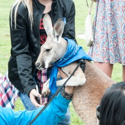 The famous runaway kangaroo. This time, kept on a short leash.